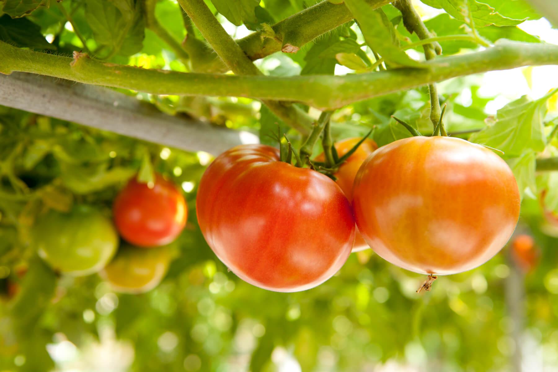 信州トマト工房の味へのこだわり