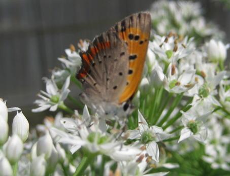 ニラの花と「ベニシジミ」