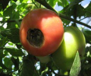 信州トマト工房の害虫対策